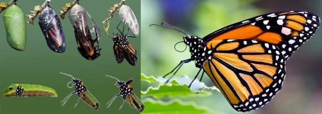 Processo farfalla