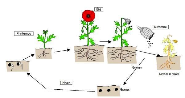 schéma du cycle de vie du coquelicot, plante annuelle